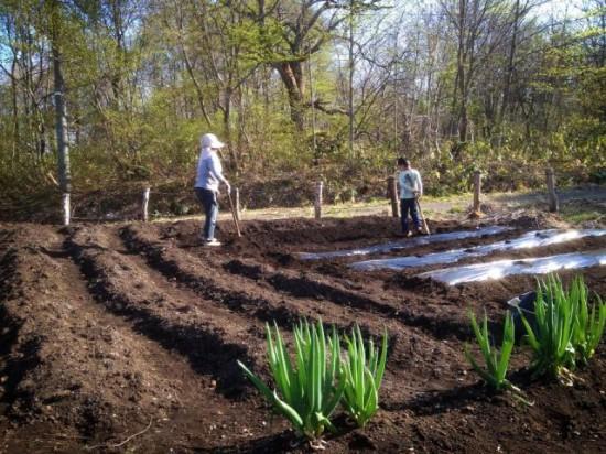 畑に作物を植え付けました