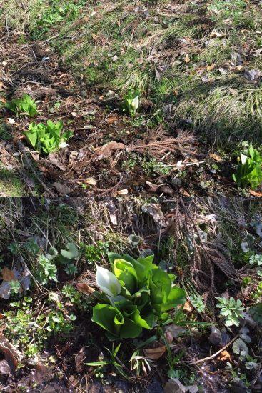 散歩道の脇には水芭蕉が咲き始めていました20170508