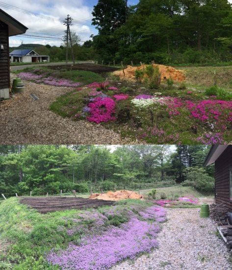 我が家の庭にて20170527~芝桜・ロンギカウリスタイムが綺麗です~