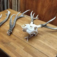 鹿の角の壁飾り作りの素材を探しにお客様が来店(エンジュ耳付き一枚板)20141229