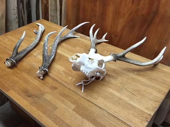 鹿の角飾り作り(エンジュ一枚板使用・角のみ・頭蓋骨付き)20141229-1