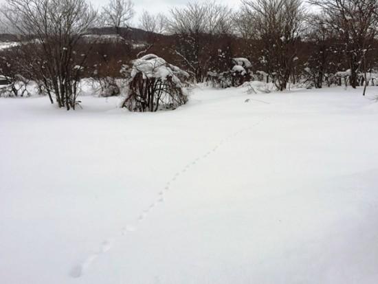 雪の上に動物の足跡を見つけました。タヌキ?猫?
