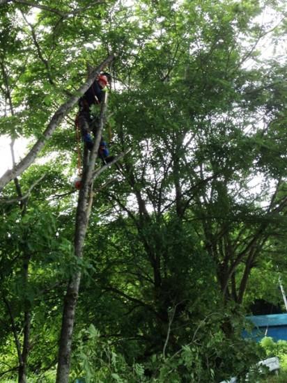 胡桃(クルミ)の木伐採作業