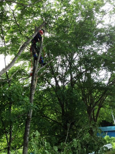 胡桃(くるみ)の木伐採作業