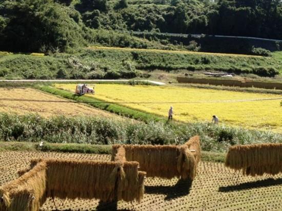 稲刈り20120927b
