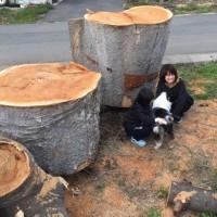 欅巨木丸太を入手・臥竜公園の桜~20150412