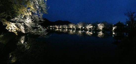 臥竜公園の夜桜20150412-1