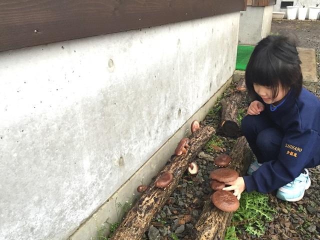 椎茸の収穫20150425-1
