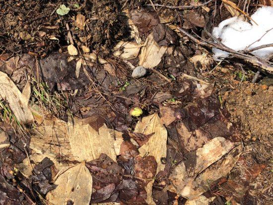 ふきのとうが芽を出していました20180312