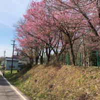 集落の桜・椎茸ホダ木20180423