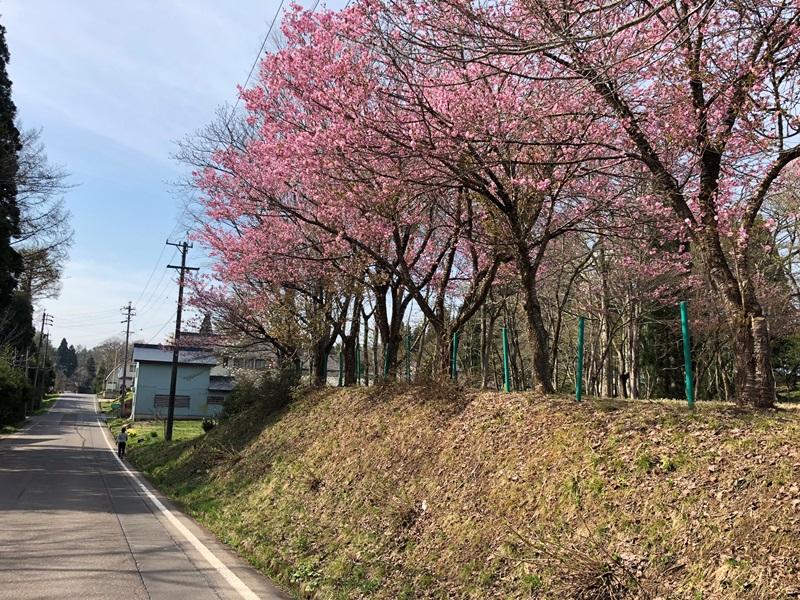 集落の桜が咲きました20180423