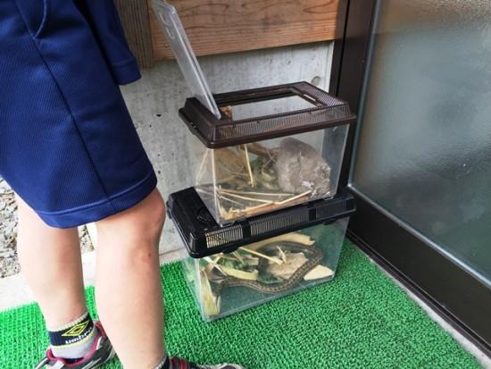 息子が学校でヘビを捕まえてきました2