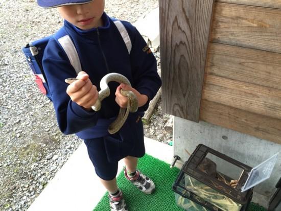 息子が学校でヘビを捕まえてきました1