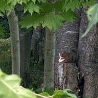 散歩道中に見かけたニホンリス20200831