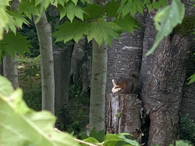 散歩道中に見かけたキノコを食べるニホンリス20200831
