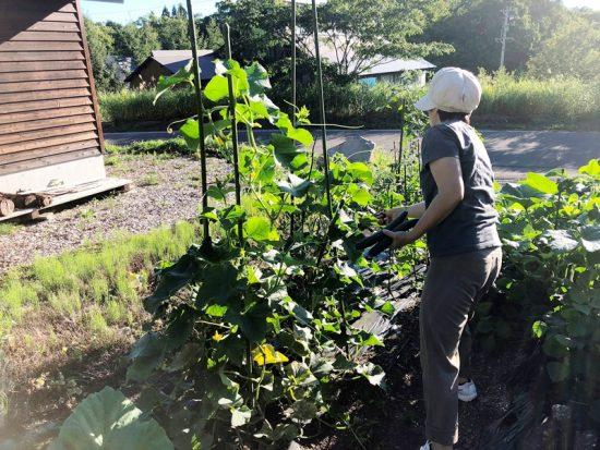 我が家の庭の様子20180823きゅうり収穫
