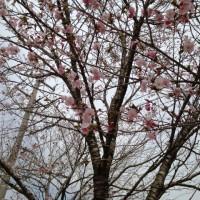 集落公会堂前の桜20130506