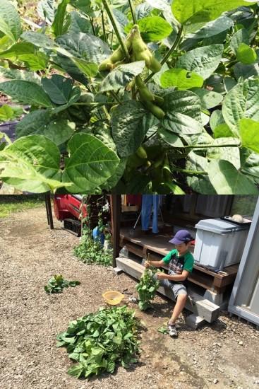 枝豆、初収穫!20150816