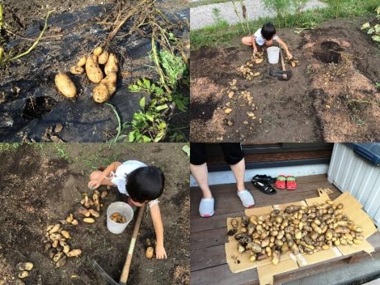 じゃがいも掘り。昨年収穫した芋を種芋としたので収量は上々!