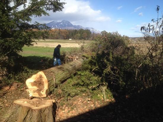 今日の作業20131120~巨木搬出作業~1
