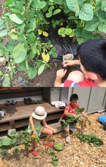 待ちに待った枝豆の収穫!20160813