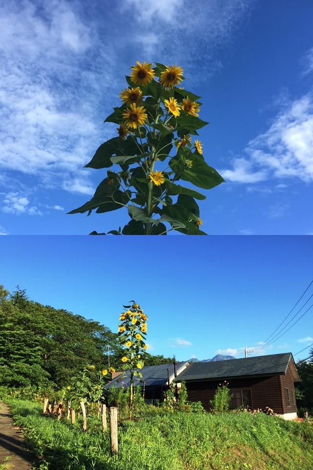 お盆過ぎの信州・黒姫でも残暑が厳しい日が続いています。。20160819