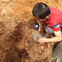 おが屑の中のカブトムシの幼虫がサナギに20140622