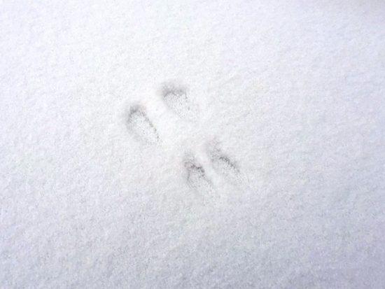 散歩の道中、うさぎの足跡を発見!20170110-2