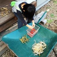 小豆の収穫20141026