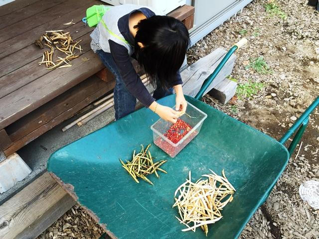小豆の収穫20141026-1