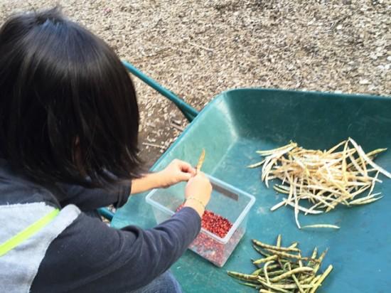 小豆の収穫20141026-2