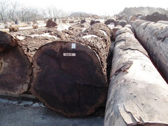 ブラックウォルナット巨大丸太岐阜銘木市場へ20130110-4