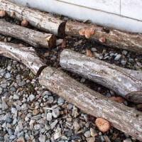 事務所前の椎茸のホダ木から。。20140528