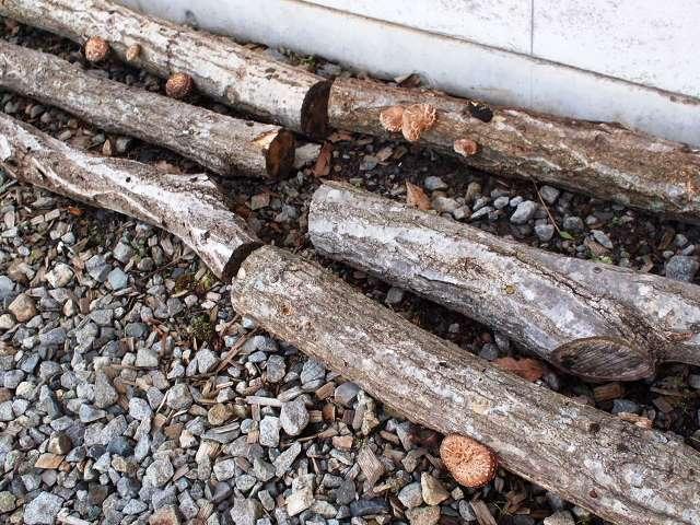 事務所前の椎茸のホダ木から20140528-2