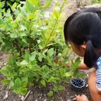 庭のブルーベリー、豊作です!