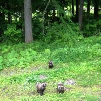 散歩中、タヌキの家族に遭遇!